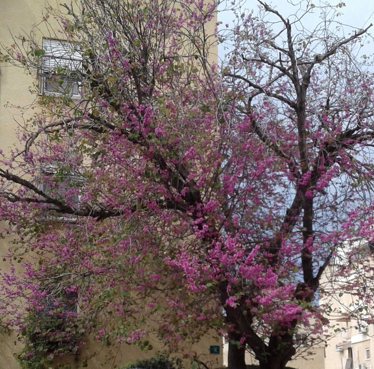 Нагария первой в Израиле приняла новый регламент по защите деревьев